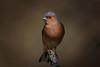 _F0A6521-Edit.jpg (Kico Lopez) Tags: miño lugo spain feeder galicia pinzóncomún birds fringillacoelebs aves rio