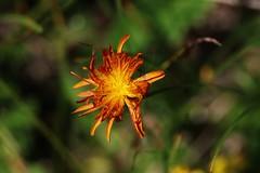 Wild Flower (Hugo von Schreck) Tags: hugovonschreck wildflower wildblume flower blume blüte macro makro canoneos5dsr tamron28300mmf3563divcpzda010