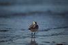 Red-necked stint / in blue (yasushiinanaga) Tags: japan 三番瀬 bird natuer outside blue canoneos6d sigma150600mm water