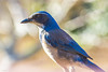 Scrub Jay Thinking (cozdas) Tags: bird scrubjay thing jay organism