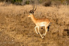 Impala (mayekarulhas) Tags: impala southafrica africa animal antilope wildlife wild canon safari gazelle mammal stag grass field tree landscape