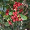 Murraya paniculata (Mauricio Mercadante) Tags: taxonomy:binomial=murrayapaniculata murrayapaniculata murraya rutaceae