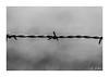 Barbelé (Justine JOBIN) Tags: barbelé fil fer dangerous danger pique champ pré animaux animal vache promenade dimanche photo noir gris blanc contraste mur