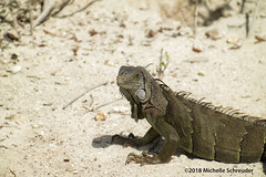 Iguana (Michelle Schreuder) Tags: iguana leguaan florida keys amerika america nature natuur animal reptiel reptile samsungnx30 michelleschreuder sunshinestate annesbeach islamorada