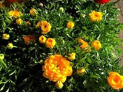 #HappySunday (RenateEurope) Tags: renateeurope 2018 iphoneography yellow ranunculus flowers flora happysunday awesomeblossoms