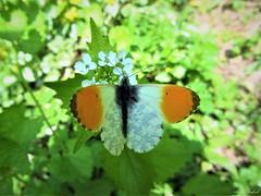 Butterfly 1607 (+1000000 views!) Tags: butterfly borboleta farfalla mariposa papillon schmetterling فراشة