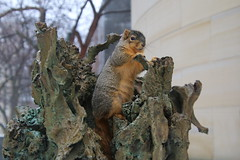 213/365/3500 (January 10, 2018) - Squirrels in Ann Arbor on a Misty and Wet Winter's Day at the University of Michigan (January 10th, 2018) (cseeman) Tags: gobluesquirrels squirrels annarbor michigan animal campus universityofmichigan umsquirrels01102018 winter eating peanut januaryumsquirrel umsquirrel snowsquirrels snow snowy misty foggy wet art publicart angryneptunesalaciaandstrider statue bronze micheleokadoner micheleokadonerstatue squirrelsandart squirrelsandpublicart 2018project365coreys yeartenproject365coreys project365 p365cs012018 356project2018