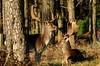 2018-01-09_03-13-21 (rae_johnson) Tags: wildlife britishwildlife deer stag fallowdeer