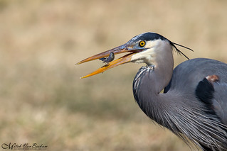 Great Blue Heron with Hors d'oeuvre (Explored)