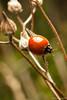 Ladybug (elisa_vg) Tags: arthropod arthropoda hexapod hexapoda inseto insect insecta bug beetle besouro coleoptera polyphaga cucujiformia coccinelloidea joaninha ladybird ladybeetles coccinellidae macro macrophotography mpe60mm mpe nature
