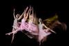 Dance Deconstructed (WheresBusyB) Tags: ballerina ballet dance jump leap lighttrail longexposure motion studio
