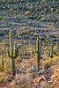 Saguaro Slope (Kirk Lougheed) Tags: arizona carnegieagigantea pimacounty saguaro saguaronationalpark saguarowest sonorandesert tucsonmountaindistrict usa unitedstates cactus desert landscape nationalpark outdoor paloverde park plant sonoran