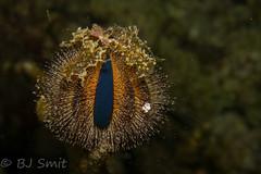 an evil eye ...  or a sea urchin   - Explored (BJSmit) Tags: sea urchin seaurchin echinoderm mordor eyeofsauron mespiliaglobulus temnopleuridae mespilia scuba diving ocean philippines cebu explored