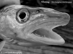 Whiting - Merlangius merlangus (liamearth) Tags: common fish ichthyology water spinner spoon lure fishing angling animal wildlife species outdoor fins bw worm hook earth sport black body scales blackandwhite monochrome dorsal abstract artistic mouth eye portrait blackbackground rounded fishportrait fishart sea ocean marine bait predator norway atlantic macro whiting merlangus merlangius