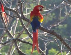 P2220056 (davidpetergibbins) Tags: scarlet macaw macaws