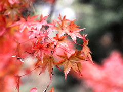 IMG_4199 (jumppoint5) Tags: shukkeien autumn colours red blur bokeh hiroshima japan