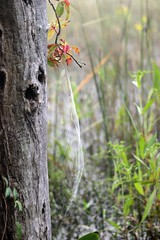 spiderweb(1) (Maryland DNR) Tags: wildlife southernmaryland spiderwebs