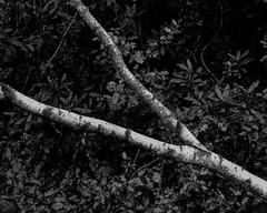 Branch (Stanley Burn Woods) (Jonathan Carr) Tags: berggerpancro400 woodland trees rural northeast blackandwhite bw monochrome toyo45a largeformat 4x5 5x4