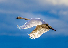 Trumpeter Swan ONE (Martin Smith - Having the Time of my Life) Tags: trumpeterswan cygnusbuccinator martinsmith ©martinsmith delta britishcolumbia canada ca swan bird bluesky magnificent nikond500 nikkor200500mmf56