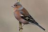 127.jpg (Kico Lopez) Tags: miño lugo aves feeder rio pinzóncomún birds fringillacoelebs galicia spain