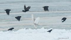 A murder of crows.. (Earl Reinink) Tags: bird birdphotography animal water ice winter cold sunrise wings earl reinink earlreinink nikon crow crows owl raptor predator snowyowl pest uituoaadza