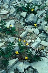 Potentilla anserina - Rosaceae (Kerry D Woods) Tags: potentilla anserina rosaceae