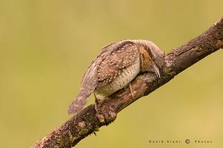 The sleeping Wryneck - Il torcicollo addormentato.