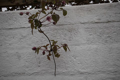 jdy111XX20170421a6831Bias0 stops.jpg (rachelgreenbelt) Tags: clematisgenus eudicots england clematismontana orderranunculales georgeham devon europe uk familyranunculaceae greatbritain magnoliophyta unitedkingdom floweringplants ranunculaceae ranunculaceaefamily ranunculales ranunculalesorder spermatophytes clematis