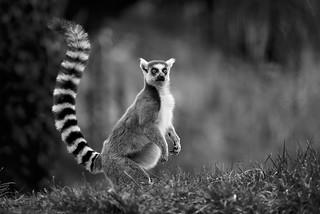 lemur monochrome