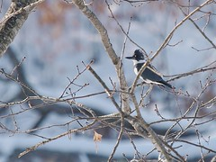 Belted Kingfisher, Portland Country Club (Bill Bunn) Tags: beltedkingfisher falmouth maine