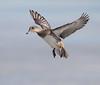 American Wigeon over the frozen Choptank River (Mawrter) Tags: americanwigeon duck cambridgemaryland maryland avian bird birding nature wildlife flight ice winter canon