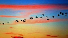 Bird Watching, Sandhill Cranes (moonjazz) Tags: birds birdwatching nature wings cranes sandhill california sky fly soar inspire flock wetlands migration group lines pink wispy clouds january silhouette shapes winged following