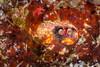 This squat lobster is keeping his business end forward. (jonmcclintock) Tags: weird adventure rajaampat travel crab macro thingsinholes underwater indonesia scuba diving