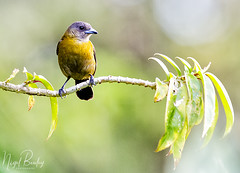 PASSERINI'S TANAGER 1 (Nigel Bewley) Tags: passerinistanager ramphoceluspasserinii costarica centralamerica wildlife naturalhistory greatoutdoors wildlifephotography endangeredwildlife bird birds avian birdlife distinguishedbirds birdwatchercreativephotography artphotography unlimitedphotos february february2018 nigelbewley photologo palma