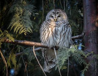 A97I6296-Barred Owl