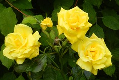 Yellow Roses, Watts Park, Southampton, Sep 2017 (allanmaciver) Tags: yellow roses hardy shine southampton south coast england class admire enjoy delight close macro beautiful allanmaciver