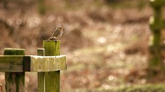 🎼 Bob, Bobbing Along (ianderry64) Tags: leicester park bradgate backlit nature wildlife perch porch fence plumage feathers chest breast red redbreast bird robin along bobbing bobbin