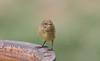 yellow thornbill (Acanthiza nana)-1479 (rawshorty) Tags: rawshorty birds canberra australia act symonston