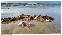 Playa de Punta Umbría. Huelva (José María Gómez de Salazar) Tags: beach sea ocean sand sky animal water puntaumbría huelva andalucía españa landscape seascape paisaje paisajemarino algasmarinas seaweed