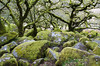 Druid Forest (Christian Hacker) Tags: wistmanswood dartmoor oakwood devon mythical trees rocks rocky moss vegetation moorland nationalpark canon eos50d tamron 1750mm nature remote highaltitude woodland historic ancient outdoors outdoor hiking walk gnarly granite mosscovered mossy wild wilderness