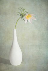 White Pasque in Vase