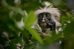 Zanzibar Red Colobus Monkey (hph46) Tags: jozaninationalpark sansibar africa eastafrica tanzania zanzibar affe monkey zanzibarredcolobusmonkey procolobusbadiuskirkii wildlife sony alpha6500 canonef70200mm14lisusm