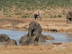 Big Fun At The Pool (Jan-Krux Photography - thx for 5Mio+ views) Tags: addo elephantpark elphant elefanten elefant spass pool wasser water fun animal mammal gross big tier familie kinder youngsters steppe bush grassland grass wild frei free nature natur olympus omd em1 suedafrika south africa eastern cape ostkap nationalpark sanp sanpark