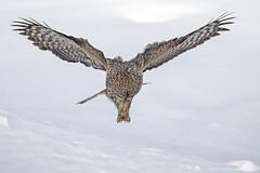 Terror from above...{Explored} (DTT67) Tags: greatgreyowl greatgrayowl owl hunting birds bif wildlife nature nationalgeographic canon 1dxmkii 500mmii 14xtciii