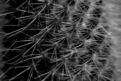 Pinchazo...Thorns are leaves :) (dagherrotipista) Tags: macromondays monochrome blackandwhite cactus nikond60 poesia poema nereuda spine thorns macro espinas biancoenero