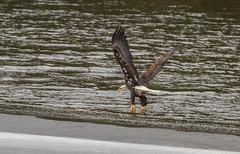 Leaving The Ice (John Kocijanski) Tags: eagle baldeagle bird animal water ice winter wildlife nature birdofprey canon70300mmllens canon7d