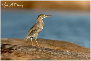 The Golden Heron!
