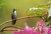 White-throated Mountaingem with flowers (Chris Jimenez - Take Me To The Wild) Tags: showering birding hummingbirds nature san birds chrisjimenez costa humingbird castaneoventris colibries rica birdingbirds endemic lampornis colibri wildlife mountaingem jimenez undertherain life gem chris hummingbird gerardo whitethroated mountain