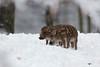 Frischlinge im verschneiten Wald (Sa Scha LC) Tags: frischlinge boar babyboar wildschwein wildlife tiere animals wald forest snowyforest badenwürttemberg oberschwaben tamron canon700d canon tamronsp150600 schwein