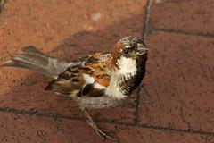 IMG_5237 (Lightcatcher66) Tags: spatzensparrows florafauna makros lightcatcher66